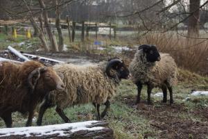 Quessant-Schafe